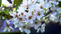 Cherry flowers blooming in springtime swining in the wind Footage