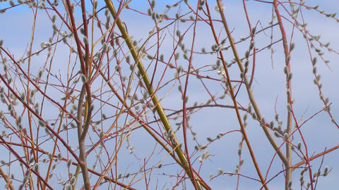 Branches of the pussy willow with fluffy buds Footage