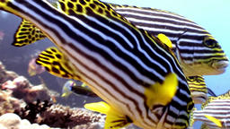 School of striped fish grumbler grouse underwater on seabed in Maldives Footage