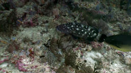 Spotted black fish hiding in corals underwater on background of seabed Maldives Footage