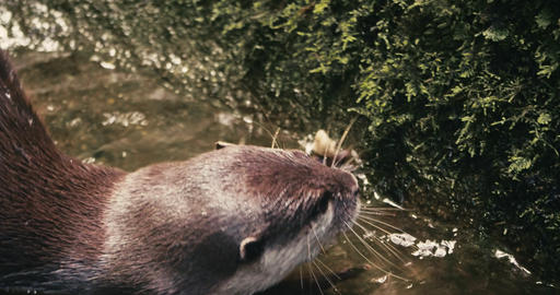 Closeup shot of a swimming Otter Footage