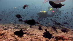 Big eye Trevallies fish tuna wrasse and divers underwater on seabed Footage