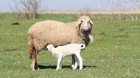 Lamb feeding with milk Footage