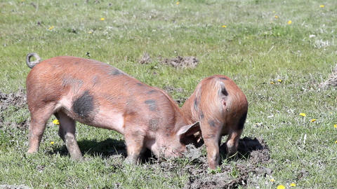 Two little pigs in a mud Footage