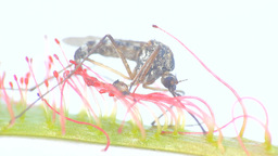 Carnivorous plants 2. Sundew grabbed mosquito with sticky fibers Live Action
