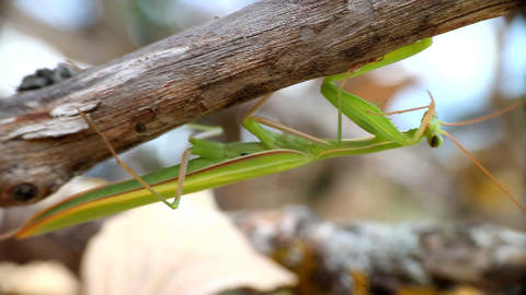 Carnivore. Predatory insect mantis cleans his terrible weapon Footage