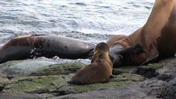 Family seal with little baby relax on beach near water of Galapagos Islands Footage
