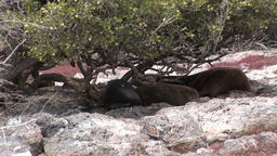 Family seal lion relax on beach of Galapagos Islands Footage