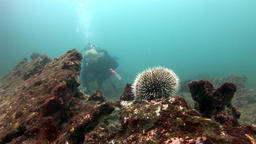 Sea urchin and diver on seabed of natural sea aquarium in Galapagos Footage