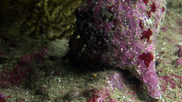 Hermit crab drags on itself cockleshell underwater on seabed in Galapagos ビデオ
