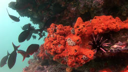 Sea urchin on seabed of natural sea aquarium in Galapagos Footage