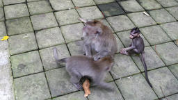 Monkey baby with adult animals in Bali Footage