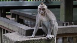 Monkeys play in Bali Footage