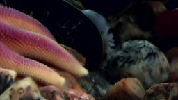 Needles and tentacles of starfish close up underwater on seabed of White Sea Footage