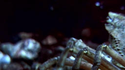 Crab hios underwater in search of food on seabed of White Sea Russia Footage