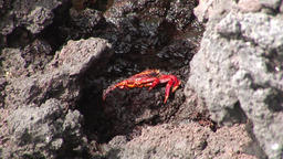 Red crab hios Grapsus grapsus in search of food on rock coast Pacific Ocean Footage