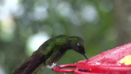 Kiwi bird with long beak drinks nectar from red feeder on Galapagos Islands Footage