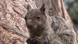 Red Squirrel gnaws nuts on Galapagos Islands Footage