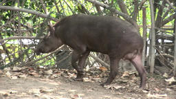 Tapir Tapirus in national park zoo Footage