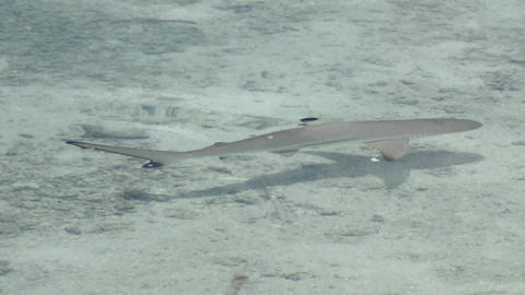 Small shark under the water. Indian Ocean video close-up Footage