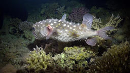 Angry Porcupine fishe swim on reef Footage