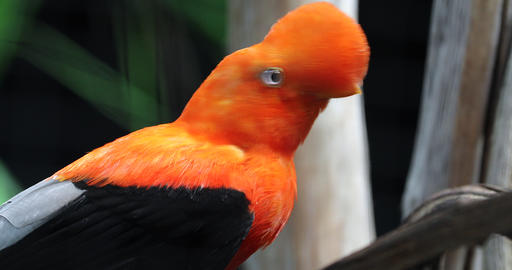 Beautiful Andean Cock Of The Rock Image