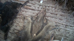 Stuffed animals skins in hut indigenous Guarani Indians and Shuar Footage