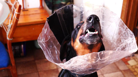Dog in a medical collar cone gnawing carrots teeth Archivo