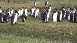 Imperial penguins on green Falkland Islands in Antarctica Footage