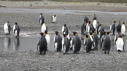 Group of important penguin on the ocean coast in Antarctica Footage