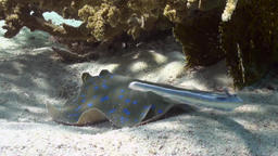 Blue Spotted Stingray on Coral Reef sandy bottom Footage
