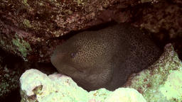 Cleaner wrasse fish cleaning moray eel on reef Footage