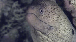 Dangerous Moray underwater in search of food in Red sea Footage