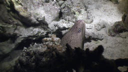 Moray underwater in coral on background underwater landscape in Red sea Footage