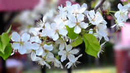 Cherry flowers blooming in springtime moving from defocus to focus 画像