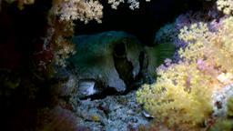 Blackspotted puffer fish pufferfish. Close up Footage