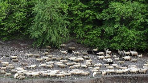 Sheeps Walking Along the River Archivo