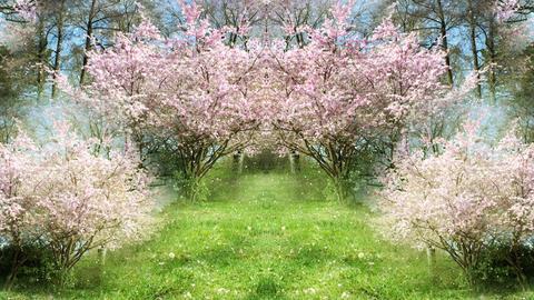 Springtime Sakura Garden Stock Video Footage