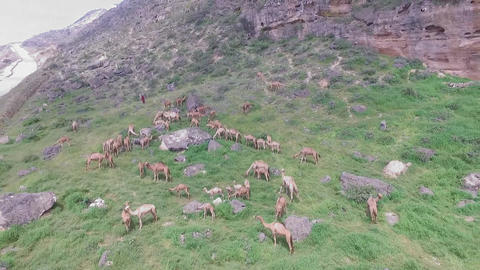 a herd of camels is grazing in the mountains of Oman 영상물