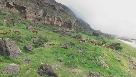 a herd of camels is grazing in the mountains of Oman Footage