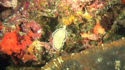 Nudibranch Slug Sea Mollusc on background of underwater seabed in Maldives Footage