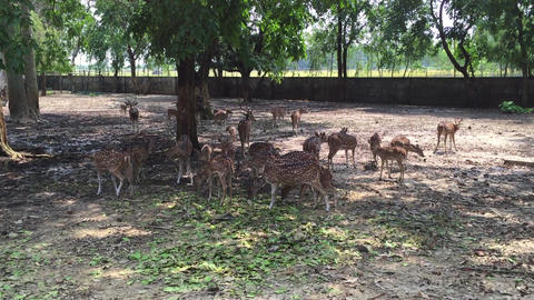 Indian deer in zoo Footage