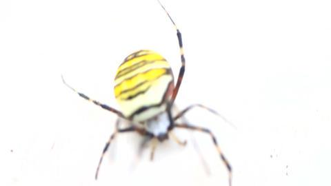 Large striped spider zebra crawling on white background. Close up Footage