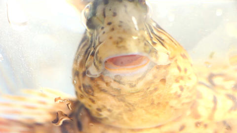 Funny round fish breathe directly into the lens, on white background Live Action