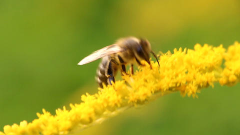 Hard-working bee collects nectar from yellow flowers Footage