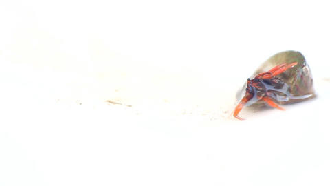 Hermit crab demonstrates how deftly flipped snail house Footage