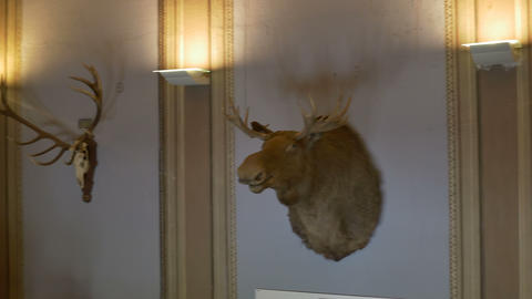 Moose On The Wall stock footage
