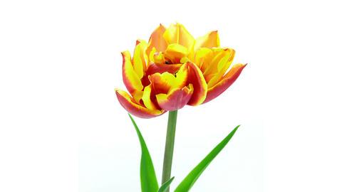 Pink peony flower in vase blooming top view timelapse Footage