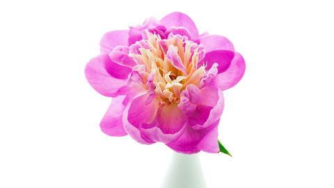 Pink peony flower in vase blooming top view timelapse Footage
