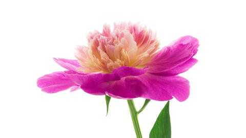 Pink peony flower blooming side view timelapse Footage